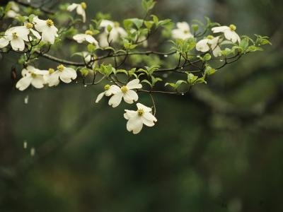 Delicate White Dogwood Blossoms Cover a Tree in the Early Spring-Raymond Gehman-Photographic Print