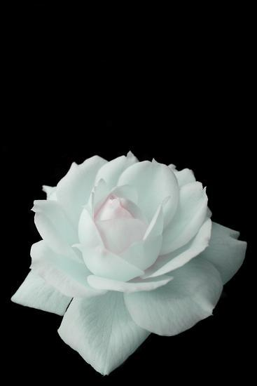 Delicate White Rose- luisrock62-Photographic Print