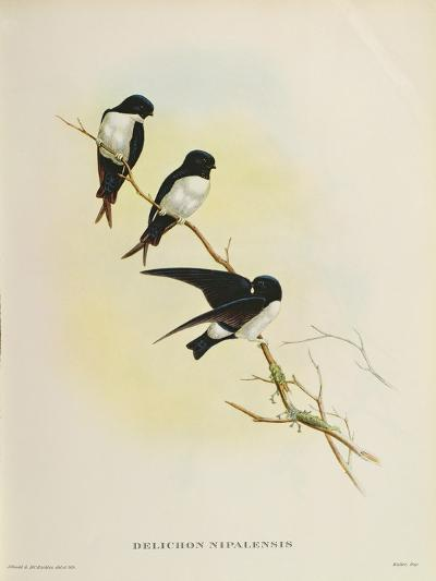 Delichon Nipalensis, from 'A Century of Birds from the Himalaya Mountains', 1830-32-John Gould-Giclee Print