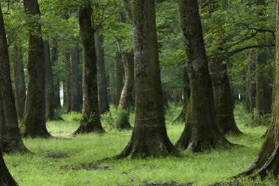 Common Oak (Quercus Robur) and Ash (Fraxinus Sp) Forest, Lonjsko Polje Np, Slavonia Region, Croatia by della Ferrera