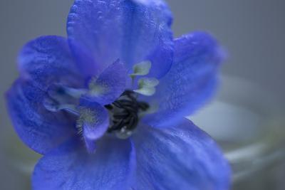 Delphinium Flower I-Rita Crane-Photographic Print