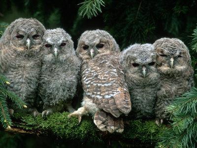 Five Young Tawny Owls, Germany