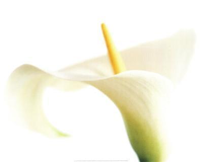 Calla on White by Den Reader