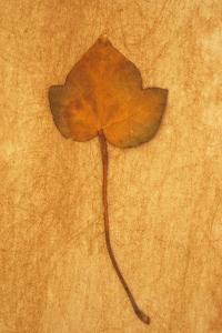 Close Up of Brown Autumn Or Winter Leaf of Ivy Or Hedera Helix Lying On Rough Beige Surface by Den Reader