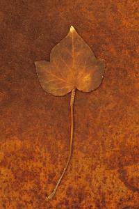 Close Up of Brown Autumn Or Winter Leaf of Ivy Or Hedera Helix Lying On Rusty Metal Sheet by Den Reader