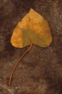 Close Up of Brown Autumn Or Winter Leaf of Ivy Or Hedera Helix Lying On Tarnished Metal by Den Reader