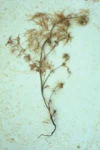 Dried Plant by Den Reader