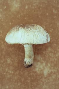 Field Mushroom by Den Reader