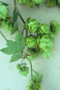 Green Hops by Den Reader
