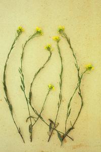 Hedge Mustard by Den Reader