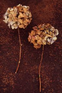 Hydrangea by Den Reader
