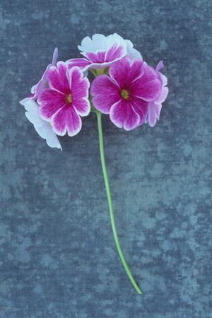Pink Flowers by Den Reader