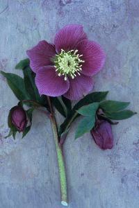 Purple Flower And Two Flowerbuds of Lenten Rose by Den Reader