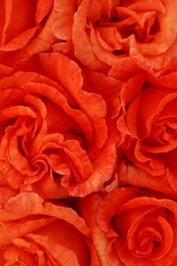 Rosa Sally by Den Reader