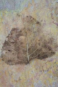 Skeleton of Leaf of Black Poplar Or Populus Nigra Tree by Den Reader