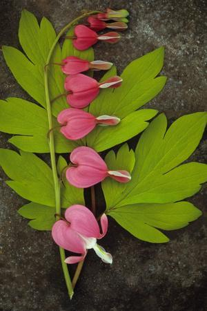 Stem of Pink and White Flowers of Bleeding Heart or Dicentra Gold Heart Lying