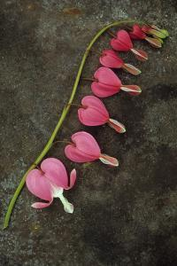 Stem of Pink and White Flowers of Bleeding Heart or Dicentra Gold Heart Lying by Den Reader