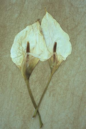 Two Dried Flowerheads of Arum or Calla Lily or Zantedeschia Aethiopica Crowborough Lying