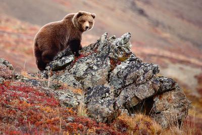 Denali Brown Bear-Image courtesy of Jeffrey D. Walters-Photographic Print