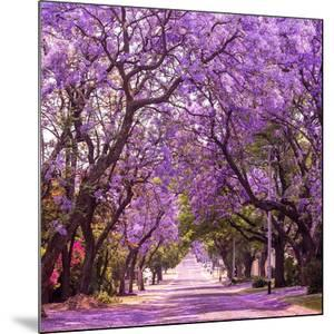 Street of Beautiful Violet Vibrant Jacaranda in Bloom. Tenderness. Romantic Style. Spring in South by Dendenal