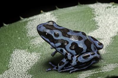 https://imgc.artprintimages.com/img/print/dendrobates-auratus-f-blue-green-and-black-poison-dart-frog_u-l-pzqnt50.jpg?p=0