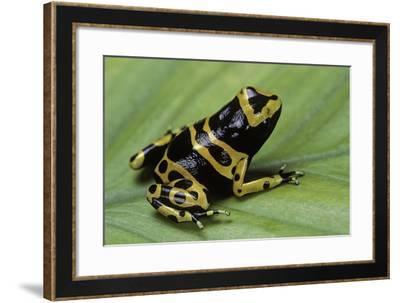 Dendrobates Leucomelas (Yellow-Banded Poison Dart Frog)-Paul Starosta-Framed Photographic Print