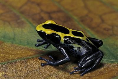 Dendrobates Tinctorius (Dyeing Poison Dart Frog)-Paul Starosta-Photographic Print