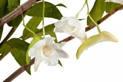 Dendrobium Arcuatum-Fabio Petroni-Photographic Print