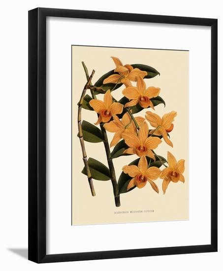 Dendrobium Moschatum Var. Cupreum-John Nugent Fitch-Framed Giclee Print