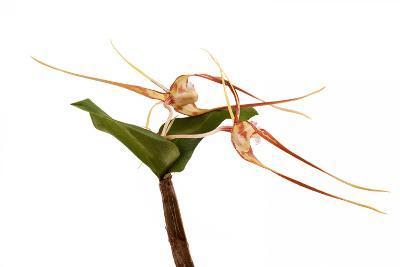 Dendrobium Tetragonum1-Fabio Petroni-Photographic Print