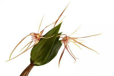 Dendrobium Tetragonum-Fabio Petroni-Photographic Print