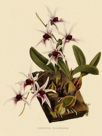 https://imgc.artprintimages.com/img/print/dendrobium-treacherianum_u-l-q1bvmpt0.jpg?p=0