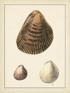 Antique Shells II by Denis Diderot