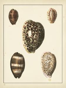 Antique Shells III by Denis Diderot