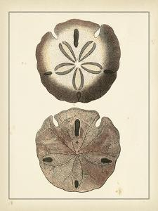 Antique Shells V by Denis Diderot