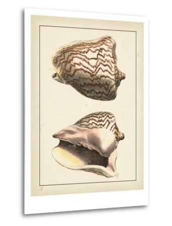Antique Shells VI