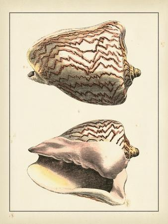 Antique Shells VI