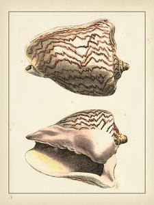 Antique Shells VI by Denis Diderot