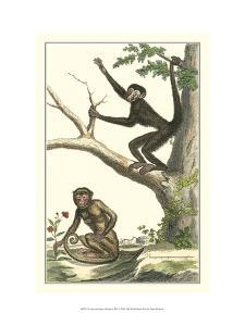 Coaita and Sajou Monkeys by Denis Diderot