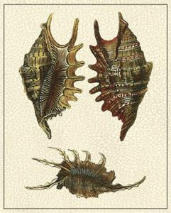 Crackled Antique Shells V by Denis Diderot