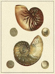 Crackled Antique Shells VII by Denis Diderot