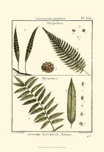 Fern Classification I by Denis Diderot