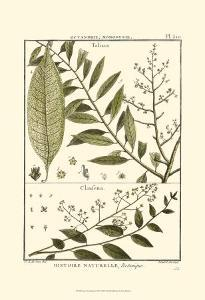 Fern Classification III by Denis Diderot