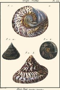 Sea Shells II by Denis Diderot