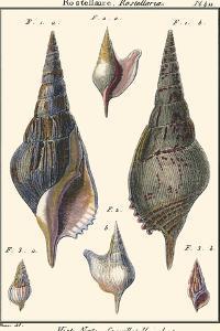 Sea Shells III by Denis Diderot