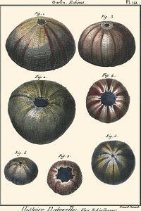 Sea Shells IV by Denis Diderot
