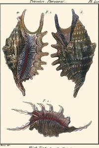 Sea Shells VIII by Denis Diderot