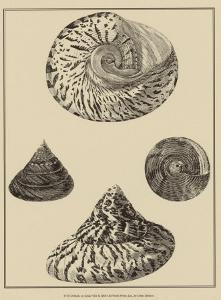 Shells on Khaki VIII by Denis Diderot
