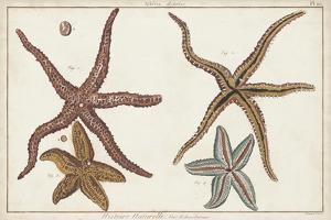 Starfish Naturelle III by Denis Diderot