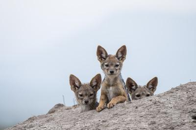 Black-backed jackal three cubs at the den, Masai-Mara Game Reserve, Kenya